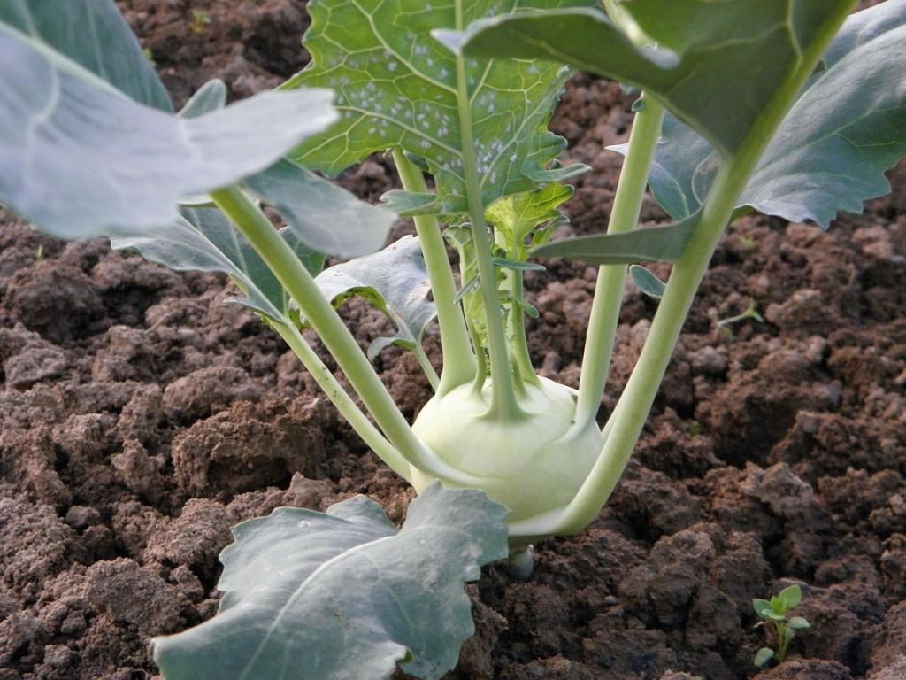 Erbsen Pflanzen, Pflegen Und Ernten - Garten Mix Erbsen Pflanzen Garten Pflege Tipps