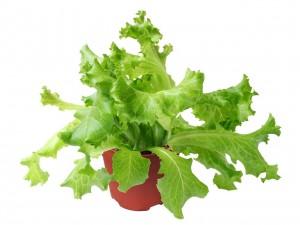 salat pflanzen pflegen und ernten garten mix. Black Bedroom Furniture Sets. Home Design Ideas