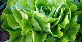 Salat pflanzen, pflegen und ernten