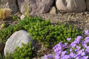 steingarten pflanzen