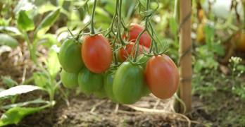Tomaten pflanzen und pflegen