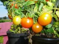 Tomaten säen Vorgehensweise