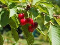 Kirschbaum schneiden – so geht's