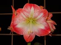 Amaryllis Pflege – blühende Rittersterne