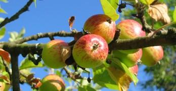 Apfelbaum schneiden Vorgehensweise