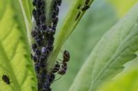 Blattläuse bekämpfen – Tipps & Tricks