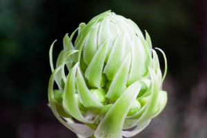 knoblauch blüte