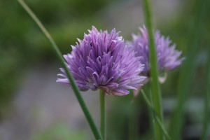 knoblauchblüte