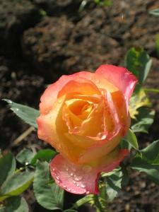 rose mehrfarbig