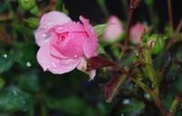 Rosen düngen – wie und wann?