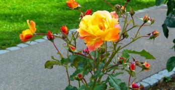Rosen schneiden – darauf müssen Sie achten