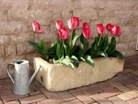 Tulpen pflanzen und pflegen