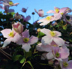 clematis pflanze