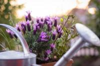 Lavendel Pflege – wichtige Tipps