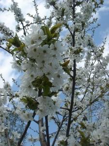 Gartenarbeit im april der fr hling ist da garten mix - Greffe du cerisier au printemps ...