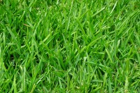 Rasen säen – so gelingt es