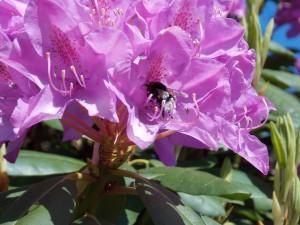 rhododendron mit hummel