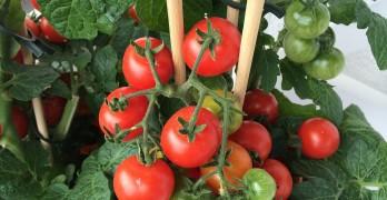Tomaten düngen – darauf müssen Sie achten