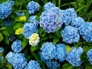 Hortensien Trocknen So Gehts Garten Mix