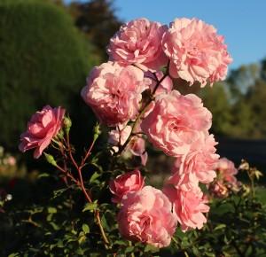 rosen rosa busch