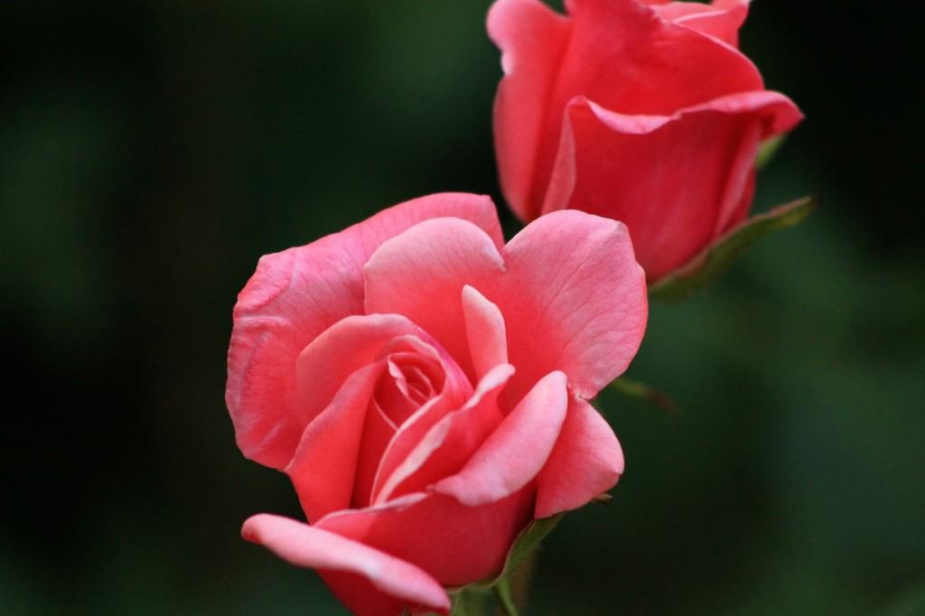 rosen vermehren rosen vermehren mit stecklingen german. Black Bedroom Furniture Sets. Home Design Ideas