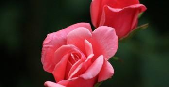 Rosen vermehren – eine Anleitung