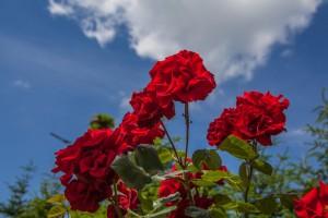 rote rosen pflanzen