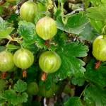 Stachelbeeren pflanzen und ernten