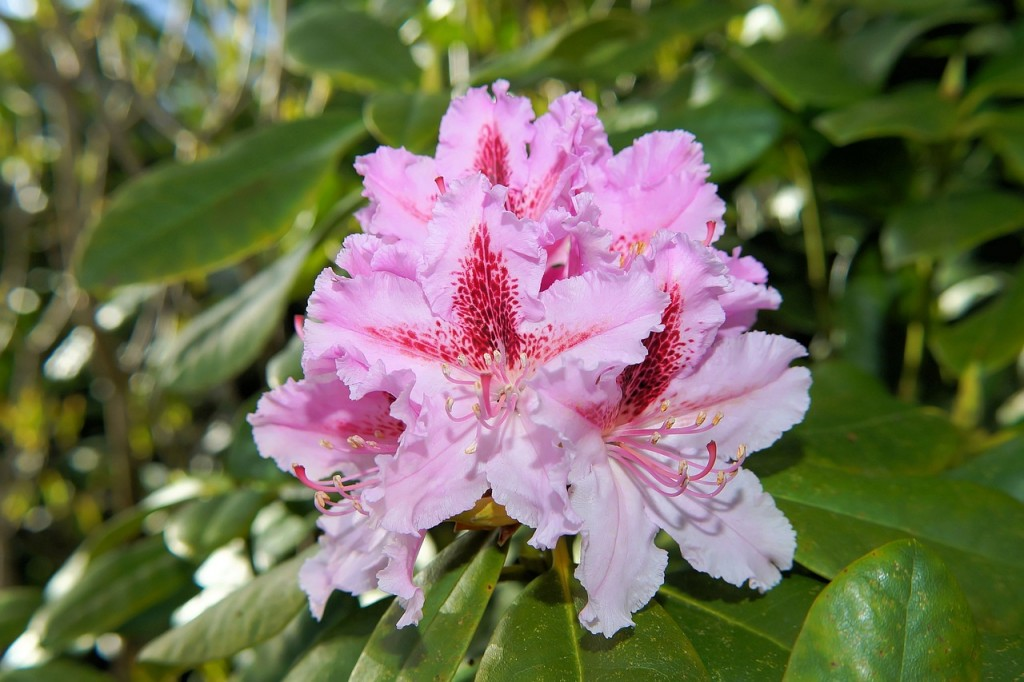Extrem Rhododendron umpflanzen Vorgehensweise - Garten Mix TH32