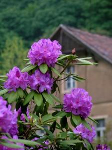 Extrem Rhododendron umpflanzen Vorgehensweise - Garten Mix JC44