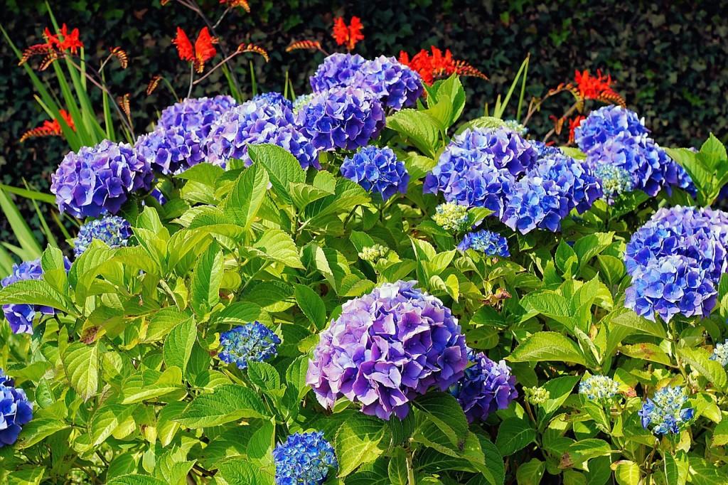Lieblings Hortensien pflanzen - eine Anleitung - Garten Mix &KU_44