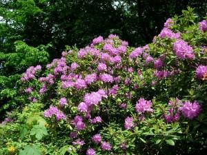 Bekannt Rhododendron umpflanzen Vorgehensweise - Garten Mix ZG06