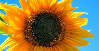 sonnenblumen pflanzen