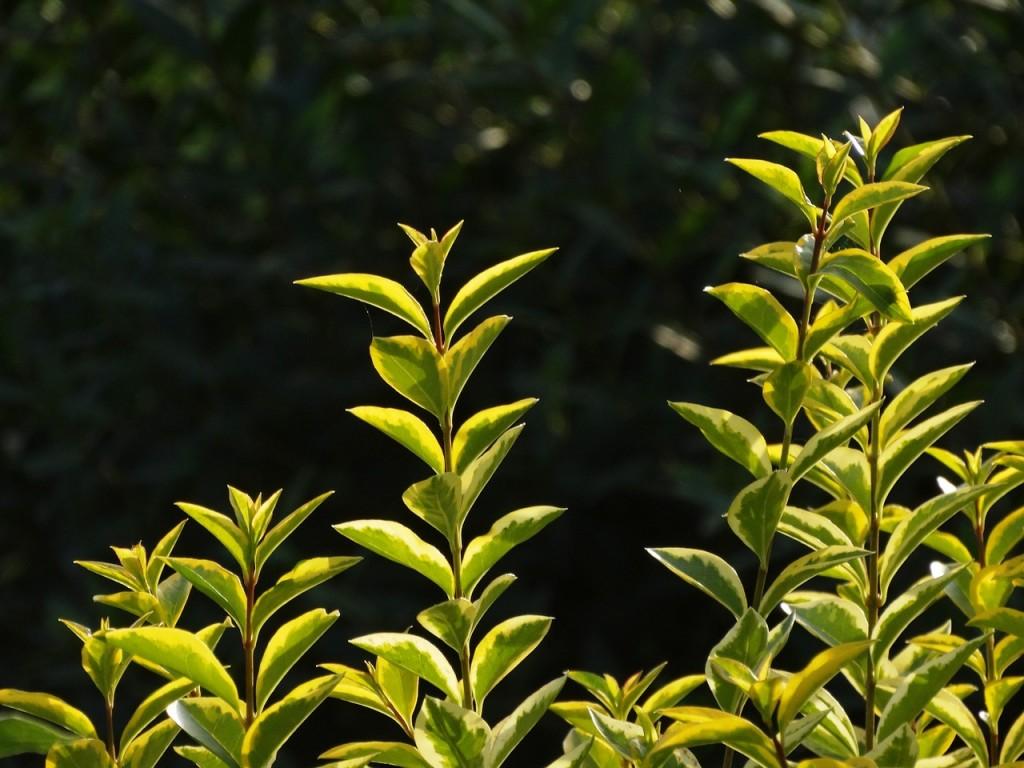 Berühmt Ligusterhecke schneiden - Das ist zu beachten - Garten Mix &LU_83