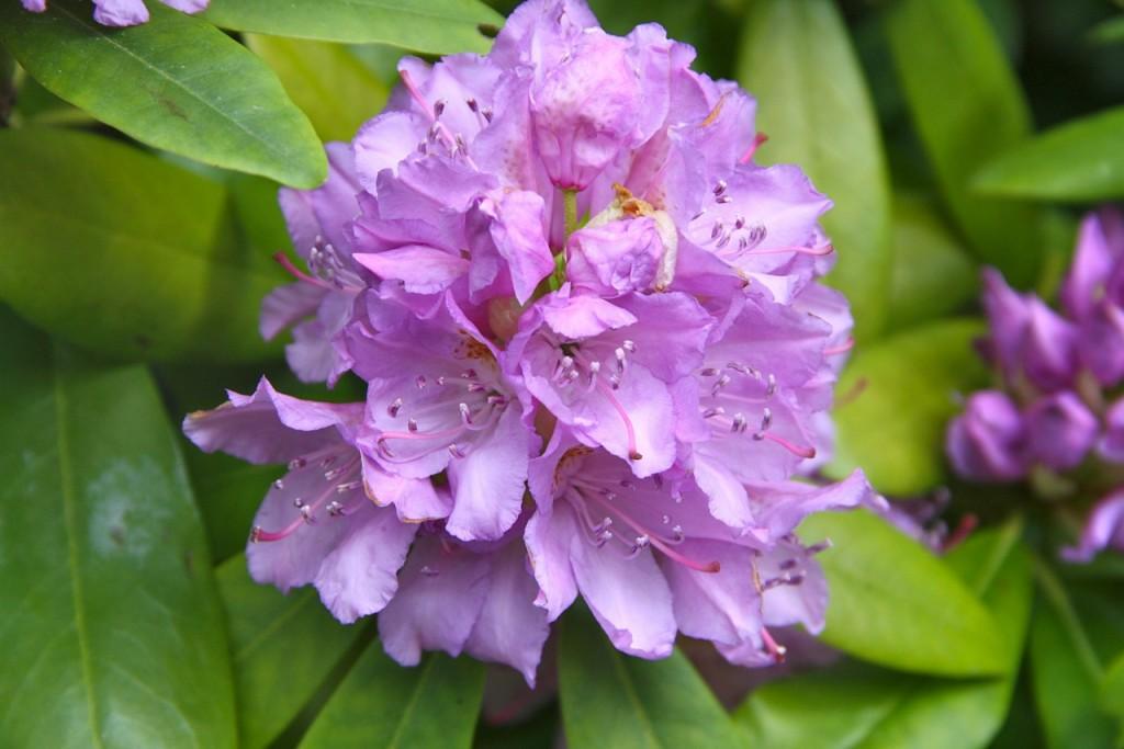 Favorit Rhododendron schneiden - eine Blütenpracht wie nie zuvor - Garten Mix PC91