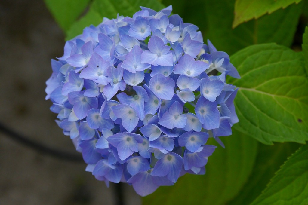 Extrem Hortensien trocknen - so geht's - Garten Mix HV55
