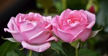 rosen umpflanzen