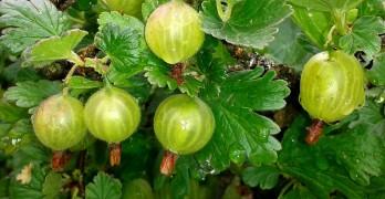 stachelbeeren pflanzen